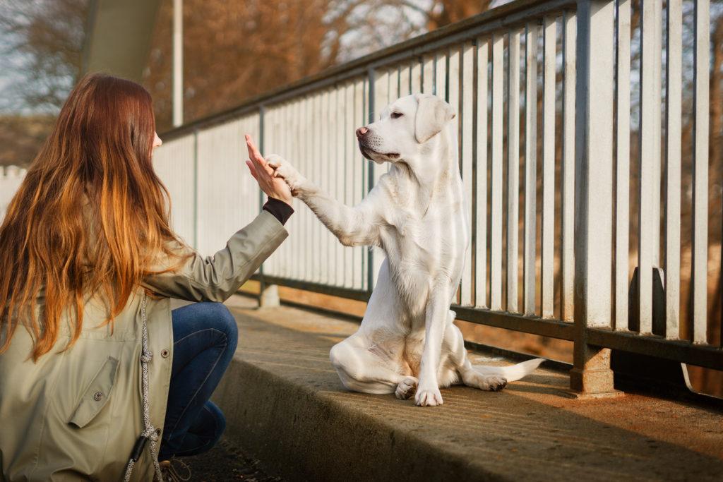 cute labrador retriever dog an woman give each other a high five handshake