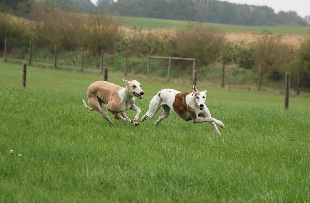 two beautiful galgos are running in the park