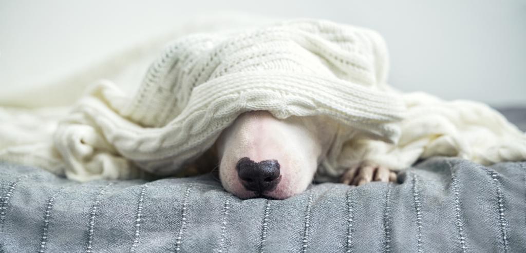 Dog Sleeping under cardigan