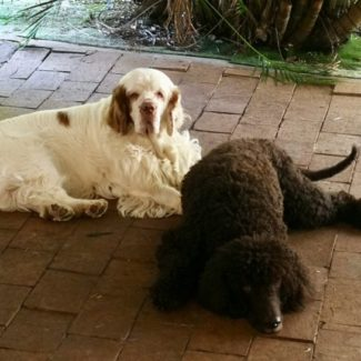 Profile picture of Jack the Clumber & Storm the Irish Water Spaniel